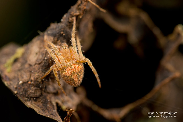 Orb web spider (Neoscona sp.) - DSC_3465