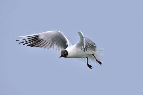 紅嘴鷗 (繁殖羽)