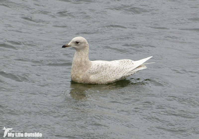 P1110996 - Iceland Gull, Cardiff