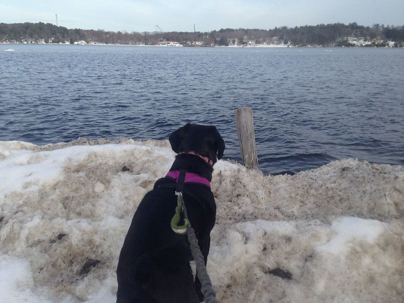 Puggle Gazing at the Kennebec River by Brian Cribb, on Flickr