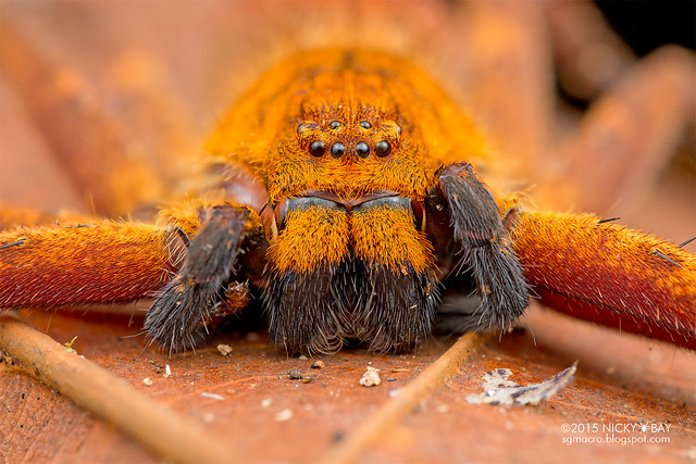 Orange huntsman spider (Sparassidae) - DSC_3710