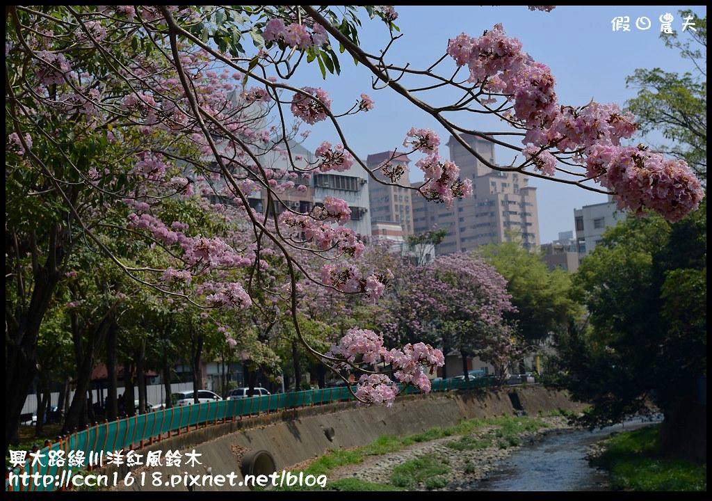 興大路綠川洋紅風鈴木DSC_2267