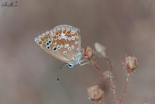 """Borboleta"", Southern Brown Argus (Aricia cramera) - em Liberdade [in Wild]"