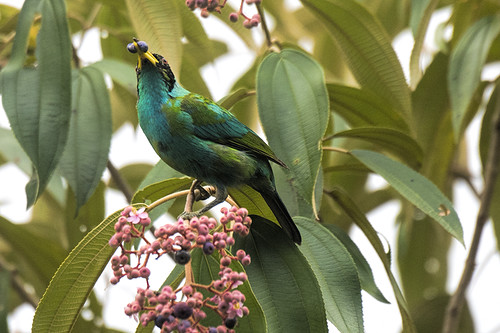 Pico Bonito: Green Honeycreeper With Snack