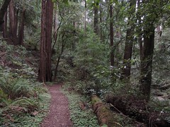 Redwoods (Sequoia sempervirens)