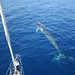 Fin whale - Photo by Tethys Research Institute