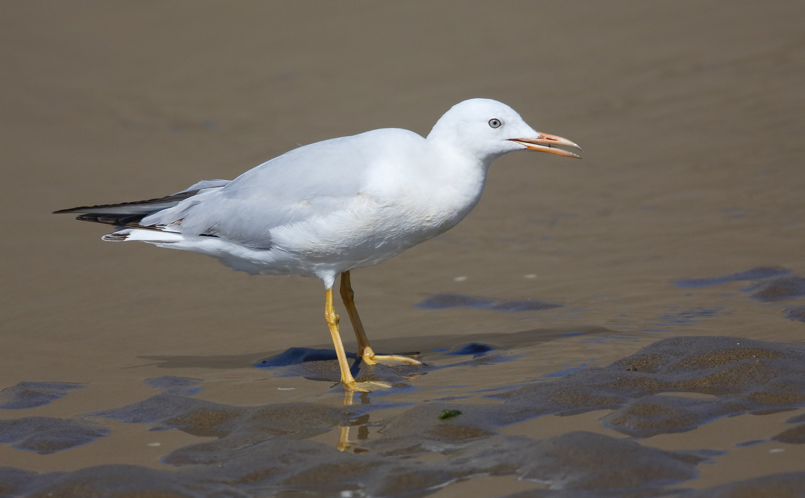 Slender Billed Gull