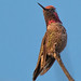 My reward for pulling weeds in the front yard - Anna's Hummingbird (Calypte anna) by Jim Frazee