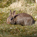 Rabbit 20150329 RSPB Sandy
