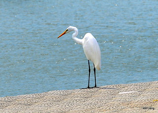 Little egret at riverside looking for the food