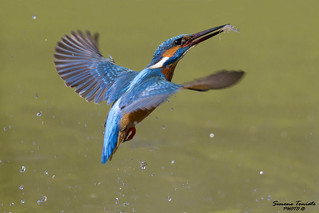 Martin Pescatore in action - Kingfisher in action