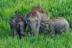 Asian Elephants,  Salak Phra Wildlife Sanctuary, Kaeng Krachan National Park and Kui Buri National Park.