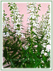 Angelonia angustifolia 'Angelface Alba/White' (Summer Snapdragon, Narrowleaf Angelon, Angel Flower, Summer Orchid)