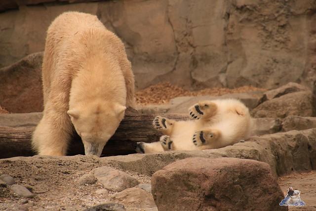 Eisbär Lili im Zoo am Meer Bremerhaven 14.05.2016 Teil 2 033
