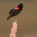 Redwing-blackbird by Corey Hayes