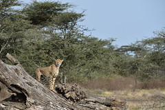 Cheetah in the Ngorongoro Conservation Area (8)