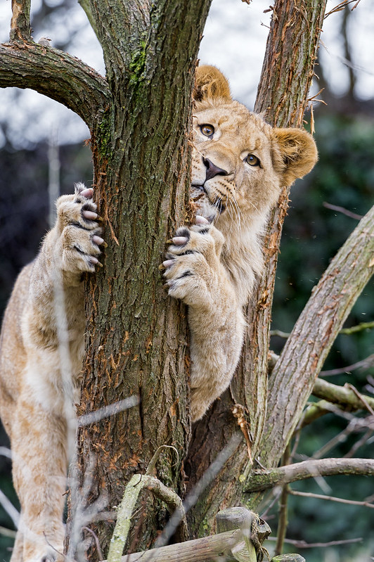 Young male lion hugging the branch!