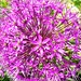 Pertly purple. by davidezartz