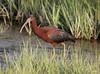 """Glossy Ibis"" ""Plegadis falcinellus""  by jackhawk9"