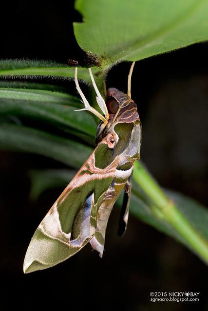 Green hawk moth (Daphnis sp.?) - DSC_3732
