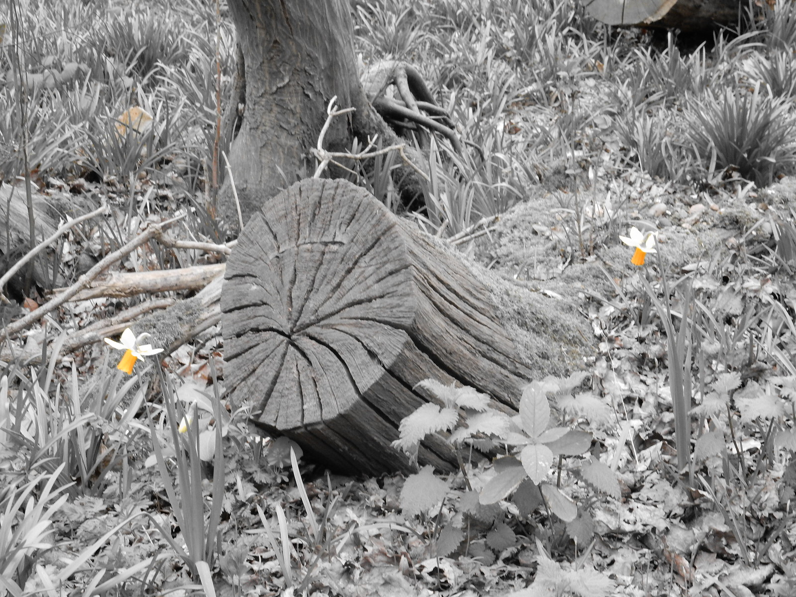 Coppice stool and daffs Sturry Circular (selective colour feature)