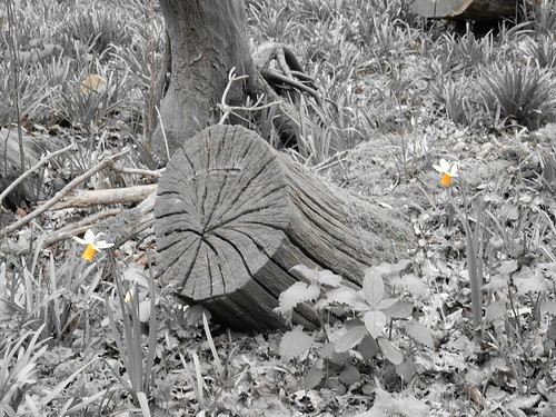 Coppice stool and daffs