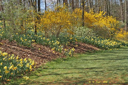 Daffodils and Forsythia (2)