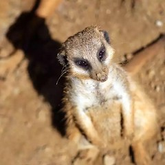 animal, mammal, fauna, close-up, viverridae, meerkat, wildlife,