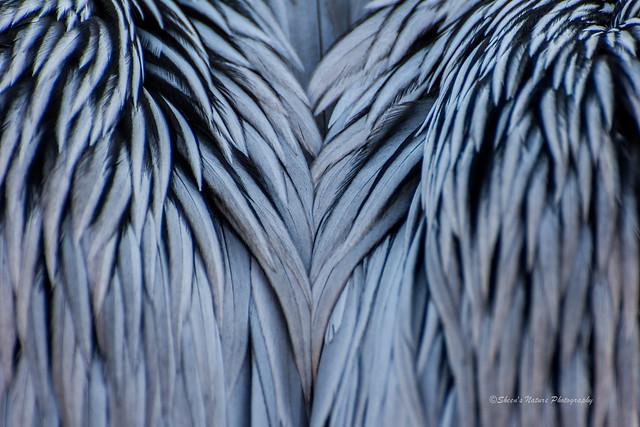 Pelican's Wings