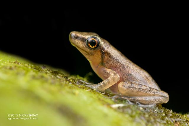 Frog (Anura) - DSC_2767