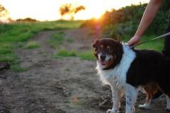 animal(1.0), dog(1.0), pet(1.0), mammal(1.0), nova scotia duck tolling retriever(1.0), australian shepherd(1.0),