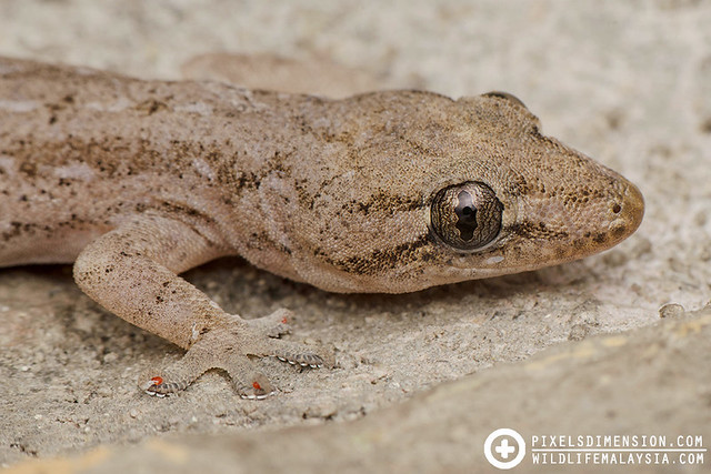 Spiny-tailed gecko (Hemidactylus frenatus ?)