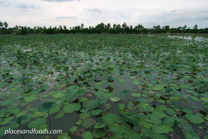 lotus farm Mahasawat River, Nakhon Pathom overview
