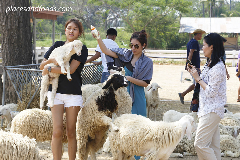 cha am swiss farm thai girls playing with sheep