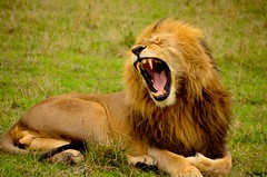 adventure(0.0), animal(1.0), mane(1.0), big cats(1.0), masai lion(1.0), lion(1.0), mammal(1.0), roar(1.0), fauna(1.0), whiskers(1.0), yawn(1.0), safari(1.0), wildlife(1.0),