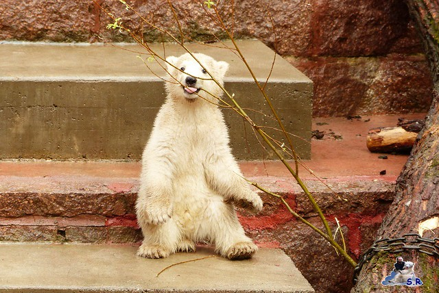 Eisbär Taufe Fiete Zoo Rostock 31.03.21015 98