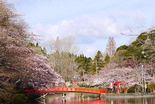 茂原公園 桜