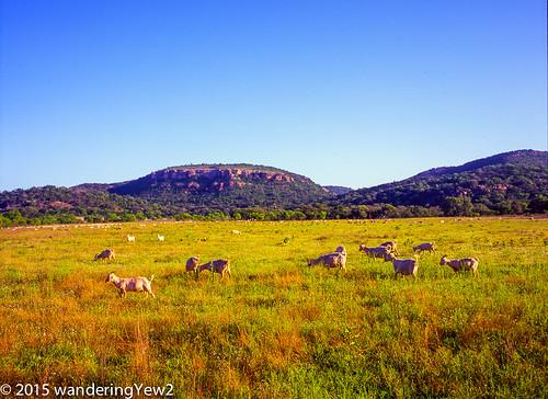 120 mamiya film mediumformat texas goat hillcountry filmscan texashillcountry llanocounty mamiya7ii