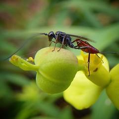Mil formas de vida se desarrollan a nuestro alrededor ¡busquemos un ratito para contemplarlas! Un #insecto sobre el fruto (tricoca) de una tabaiba en la #ReservaBiosfera de #Lanzarote #Canarias  #canaryislands #canariasgram #tricoca #insect #biodiversity