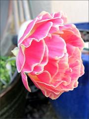 Pink and cream ranunculus