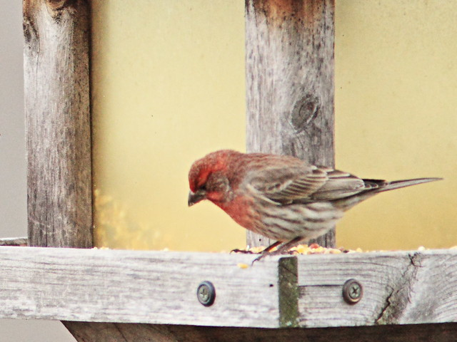 House Finch male 20150422