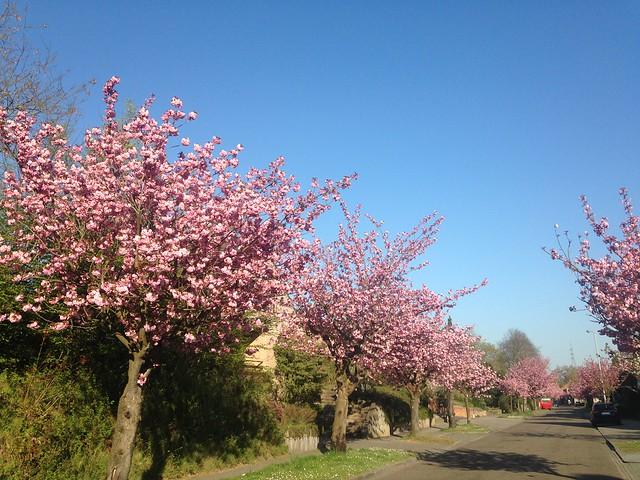bloeiende japanse kerselaars