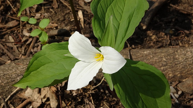 And Another White Trillium