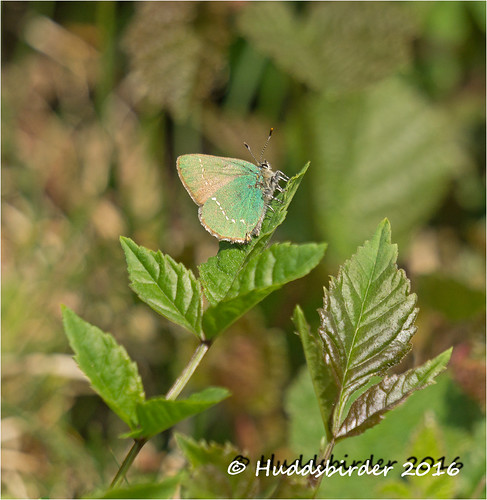 Green Hairstreak Warton Cragg