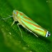 Leafhopper (Graphocephala sp.?) by LPJC (just back - all comments over last 2 weeks h