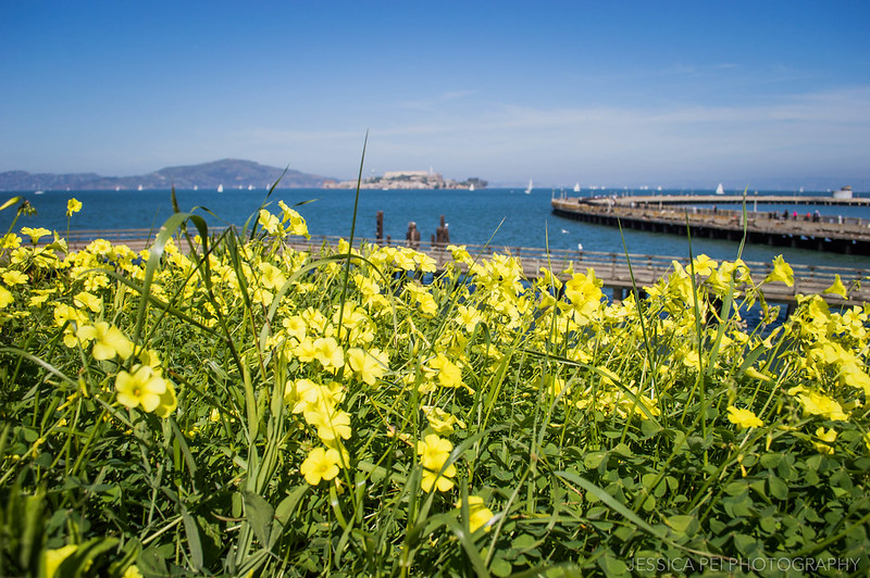 San Francisco Bay yellow flowers