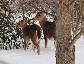 White-tailed Deer in winter.