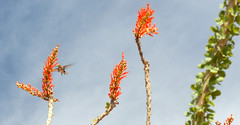 Ocotillo Flowers and Hummingbird - Joshua Tree National Park
