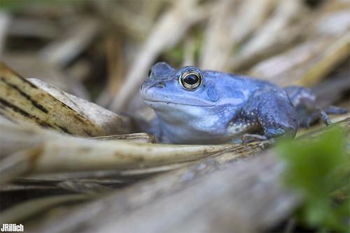 blue moor frog, blauer Moorfrosch, Rana arvalis @ Leipzig, Papitzer Lachen, mating season 2015