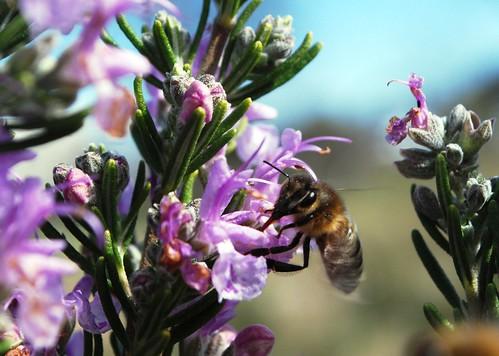 迷迭香上的蜜蜂